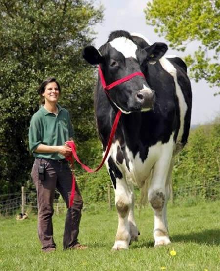 cea mai mare vaca