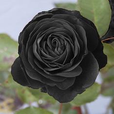http://www.codrosu.ro/wp-content/uploads/2009/10/poza-trandafir-negru.png