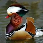 mandarin_duck
